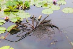 Красивый лотос в пруде Стоковые Фотографии RF