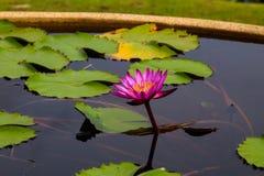 Красивый лотос в пруде Стоковая Фотография RF