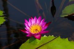 Красивый лотос в пруде Стоковое Изображение RF