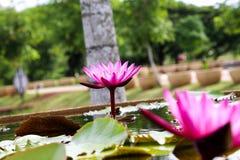 Красивый лотос в пруде Стоковая Фотография