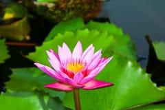 Красивый лотос в пруде Стоковые Изображения RF