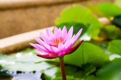 Красивый лотос в пруде Стоковые Изображения