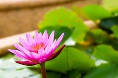 Красивый лотос в пруде Стоковое Фото