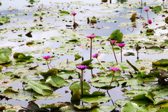 Красивый лотос в пруде Стоковое Изображение