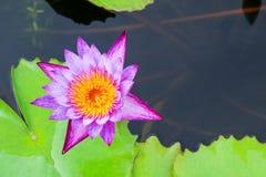 Красивый лотос в пруде Стоковое фото RF