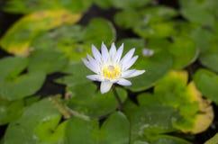 Красивый лотос на воде Стоковые Фото
