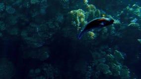 Красивый отснятый видеоматериал 4k серий рыб плавая вокруг кораллового рифа на дне моря Изумляя морская флора и фауна глубина оке сток-видео