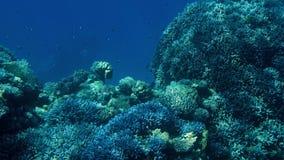 Красивый отснятый видеоматериал 4k серий рыб плавая вокруг кораллового рифа на дне моря Изумляя морская флора и фауна глубина оке видеоматериал