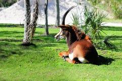Красивый отдыхать антилопы соболя стоковое фото rf