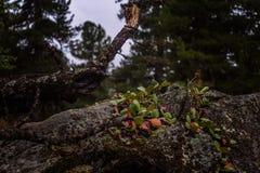 Красивый одичалый высокогорный ландшафт горы с bergenia и деревом Стоковые Изображения RF