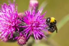 Красивый одичалый шмель собирая мед от цветка thistle болота Стоковая Фотография RF