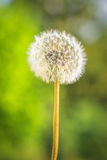 Красивый одуванчик в природе Макрос Стоковое Фото