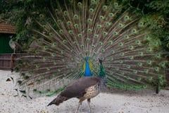Красивый павлин показывая ему перо Стоковое фото RF