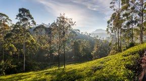 Красивый панорамный взгляд типичной плантации чая, Шри-Ланка стоковое изображение rf