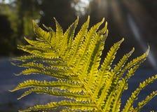 Красивый папоротник выходит, естественная флористическая предпосылка папоротника в sunlig Стоковые Фото