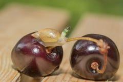 Красивый паразит Стоковая Фотография RF