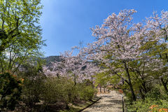 Красивый парк с Сакурой или вишневый цвет в Японии Стоковые Фотографии RF