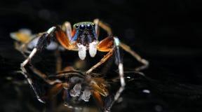 Красивый паук на стекле, скача паук в Таиланде Стоковые Изображения RF