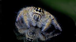Красивый паук на стекле, скача паук в Таиланде Стоковое фото RF