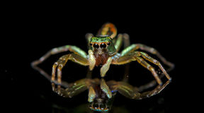 Красивый паук, скача паук в Таиланде Стоковое Изображение