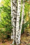 Красивый пейзаж белых берез в autum 1 Стоковые Фотографии RF