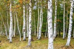 Красивый пейзаж белых берез в autum 2 Стоковые Фотографии RF