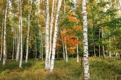 Красивый пейзаж белых берез в autum 5 Стоковое Изображение