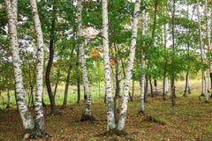 Красивый пейзаж белых берез в autum 6 Стоковые Фотографии RF
