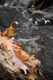 Красивый пейзаж осени падения в лесе с умершими клена дуба выходит лежать на первый этаж в селективный оранжевый цвет Стоковые Изображения RF