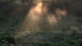 Красивый пейзаж утра в лесе, с лучами солнца отливки солнца света через ветви тумана и дерева сток-видео