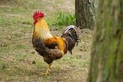 Красивый петух в ферме Стоковая Фотография RF