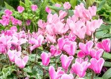 Красивый пинк цветет предпосылка в саде Стоковая Фотография RF