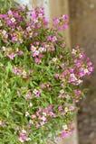 Красивый пинк цветет предпосылка Стоковая Фотография