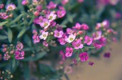 Красивый пинк цветет предпосылка Стоковое Фото