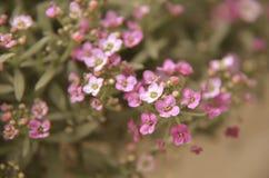 Красивый пинк цветет предпосылка Стоковые Изображения
