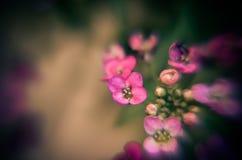 Красивый пинк цветет предпосылка Стоковое Изображение