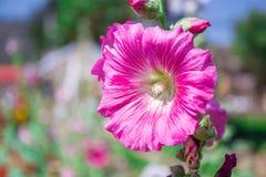 Красивый пинк цветет природа предпосылки Стоковые Фото