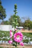 Красивый пинк цветет природа предпосылки Стоковые Изображения RF