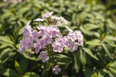 Красивый пинк цветков против яркой листвы Стоковые Изображения