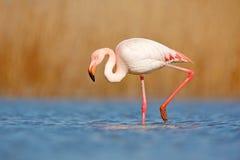 Красивый пинк bir в воде Большой фламинго, ruber Phoenicopterus, славная розовая большая птица, голова в воде, животное в natu Стоковая Фотография RF