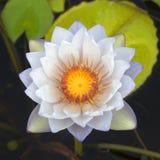 Красивый пинк waterlily или цветок лотоса в пруде Стоковое Фото