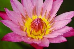 Красивый пинк waterlily или цветок лотоса в пруде Стоковые Изображения RF