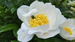 Красивый пион в саде Стоковые Изображения RF