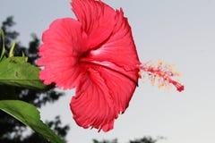Красивый поднимающий вверх конец красного гибискуса, цветка гибискуса, гавайских цветков, фарфора поднял, завод гибискуса, дерево стоковая фотография