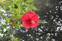 Красивый поднимающий вверх конец красного гибискуса, цветка гибискуса, гавайских цветков, фарфора поднял, завод гибискуса, дерево стоковое изображение rf