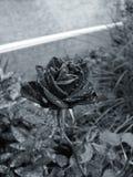 Красивый поднял в сад с падениями дождя Стоковые Фото