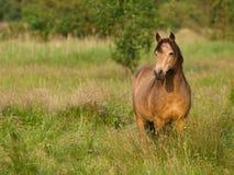 Красивый пони серовато-коричневого цвета Стоковая Фотография RF