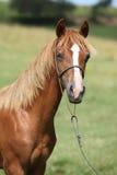 Красивый пони welsh на pasturage Стоковая Фотография