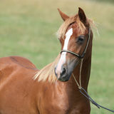 Красивый пони welsh на pasturage Стоковая Фотография RF