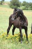 Красивый пони welsh на pasturage Стоковое Фото